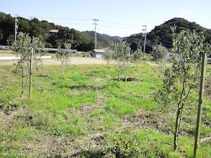 第4号農園チプレッシーノ畑