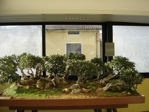 オリーヴ盆栽2