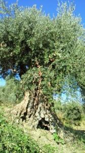 イタリアカラブリア州の樹齢600年のオリーヴの木