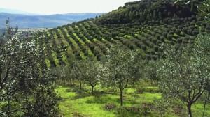 イタリア南部丘陵地のオリーヴ畑