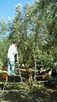 小豆島でのオリーヴ手摘み収穫風景