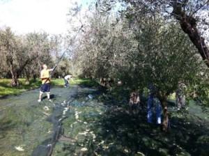簡単な収穫道具を使ったオリーヴの収穫(イタリアカン パーニア州)