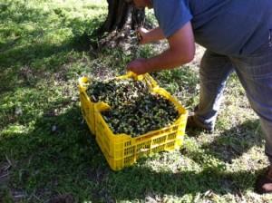 収穫後のオリーヴ(すぐに搾油所に運ばれる)