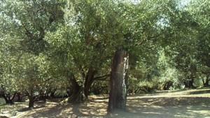 香川県小豆島にある100年を経たオリーヴの木