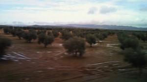 スペイン南部平原のオリーヴ畑(機械による収穫のために十分な樹間スペースが取られている)